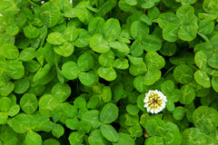 Green clover leaves and flower. Green clover leaves background.Close up of field of shamrocks stock images