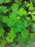 Green clover leaves Royalty Free Stock Photos