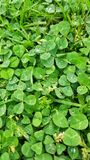 Green clover leaves in summer. royalty free stock photo