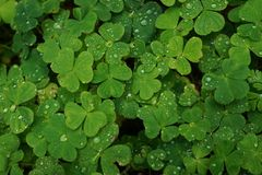 Green clover leaves with water droplets. Close up a green clover leaves with tiny rain drops on them Royalty Free Stock Images