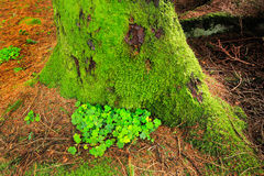 Green clover and moss growing on the north side of a tree Stock Photo