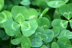 Green clover patch Stock Photo