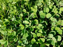 Green clover patch sunny day. Up close view of clover patch on a sunny day Royalty Free Stock Photos