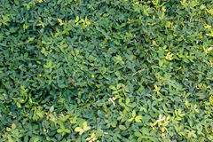 Green clover pattern Royalty Free Stock Photos