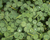 Green clover or shamrock background with rain drops Royalty Free Stock Photos