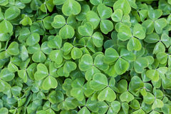 Green clover. For St. Patrick's Day stock photography