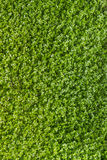 Green clover texture Stock Photography