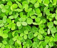Green clover texture. Green and lush clover texture stock photo