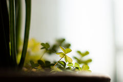 Green clover. (Trifolium strepens ameum) macro beside bright window Royalty Free Stock Images