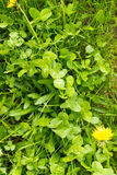 Green Clover Undergrowth Stock Images