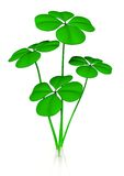 Green clovers Royalty Free Stock Photography