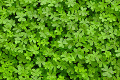 Green Clovers. On a Field Stock Photo