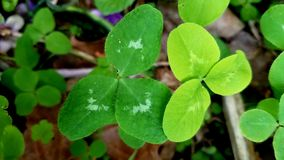 Green clovers royalty free stock images