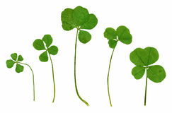 Green clovers in high resolution Royalty Free Stock Photography