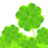 Green clovers Royalty Free Stock Photos