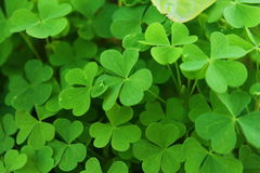 Green clovers photo in the garden. St. Patricks day symbol. Green clovers in the garden. St. Patricks day symbol Stock Images