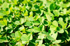 Green clovers Royalty Free Stock Image