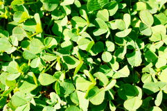 Green clovers Stock Photo