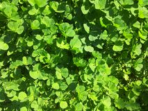 Green clovers texture Royalty Free Stock Images
