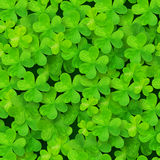 Green clovers vector seamless pattern Stock Photography