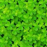 Green clovers vector seamless pattern. Green clovers leaves field vector seamless pattern Stock Photography