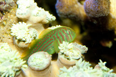 Green Clown Goby Stock Photography