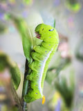 Green cobra Caterpillar in Macro. Royalty Free Stock Photos