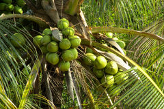 Green coco nuts growing on a palm Stock Photos