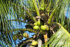 Green coco nuts growing on a palm Stock Images