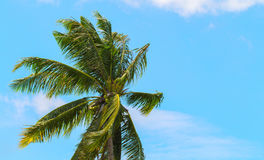 Green coco palm leaves on blue sky background. Palm tree and bright blue sky photo Stock Photography