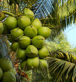 Green coconut. On the tree Stock Photo