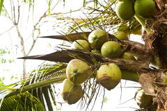 Green coconut. At tree Royalty Free Stock Images