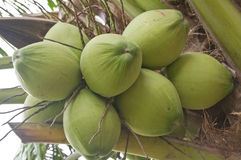 Free Green Coconut Stock Photography - 33149922
