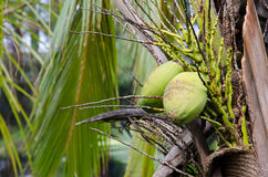 Green Coconut At Tree Royalty Free Stock Images