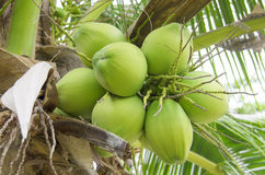 Green coconut in the bunch Royalty Free Stock Images