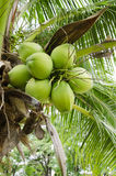 Green coconut in the bunch Royalty Free Stock Image