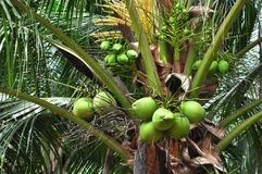 Green coconut bunches. Agriculture, Green coconut bunches with a flagrant juice Royalty Free Stock Photo