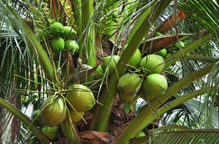 Green coconut bunches. Agriculture, Green coconut bunches with a flagrant juice Stock Photography