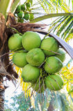 Green,coconut. Fecund green coconut full effect througout the year Royalty Free Stock Image