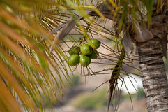 Green coconut fruit growing on a coconut palm Royalty Free Stock Photography