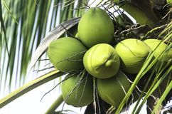 Green coconut fruit Stock Image