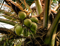 Green coconut Fruit on the palm tree Stock Photos