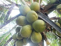 Green coconut fruits and tree Stock Photography