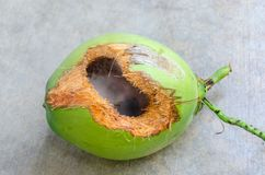 Green coconut with hole on ground. Coconut with hole gnawed by squirrel stock photography