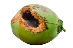 Green coconut with hole on table. Coconut with hole gnawed by squirrel royalty free stock photos