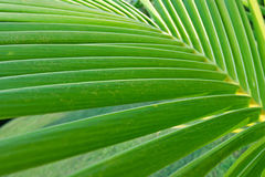 Green coconut leaf Stock Images