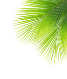 Green coconut leaf Royalty Free Stock Photos