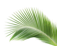Green coconut leaf isolated Stock Images