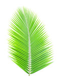 Green coconut leaf isolated. On white background Royalty Free Stock Photos