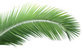 Green coconut leaf Royalty Free Stock Photography
